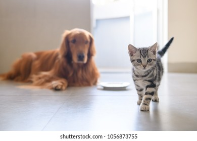 The kitten and the golden retriever are friendly together.