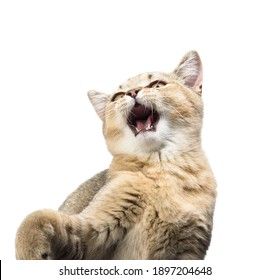 Kitten golden ticked british chinchilla straight on a white isolated background, mouth wide open