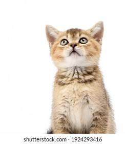 Kitten golden ticked Scottish chinchilla straight sits in front on a white background, the cat looks up