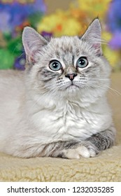Kitten gray tabby Ragdoll sitting among flowers, looking up.
