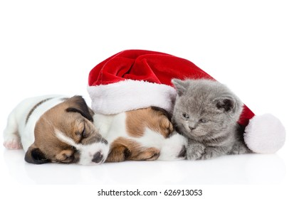 Kitten and a group of sleeping puppies Jack Russell  in red santa hat.  isolated on white background