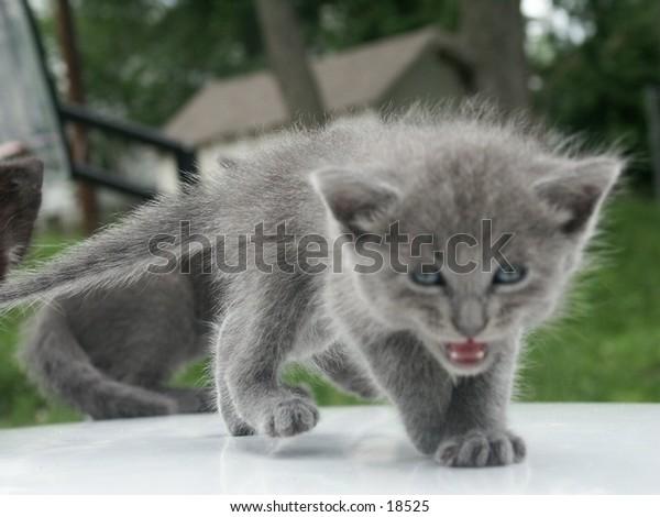 kitten growling