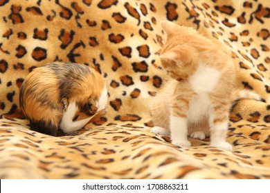 Kitten and guinea pig with play