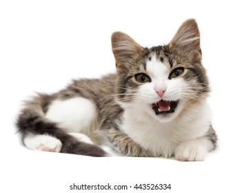 kitten has opened a mouth on a white background