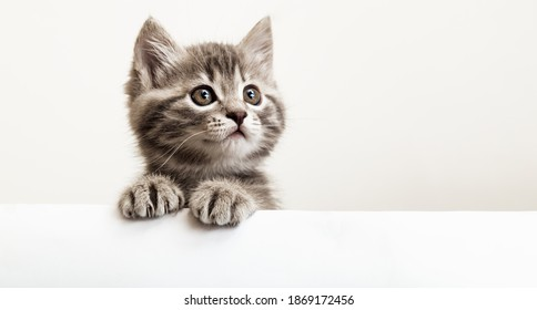Kitten head with paws up peeking over blank white sign placard. Pet kitten curiously peeking behind white background. Tabby baby cat showing placard template.Long web banner with copy space