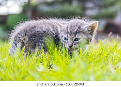 Kitten Hissing in Grass