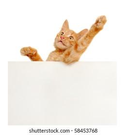 kitten holding blank banner isolated on white background