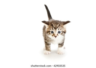 kitten isolated against white background, front view