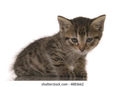 kitten isolated over white background