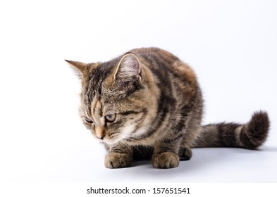 Kitten Isolated White background