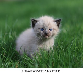 kitten and lawn