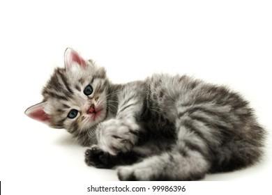 Kitten lays on white background