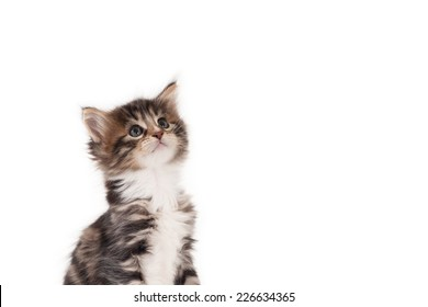 Kitten looking up against a white background with empty space for text