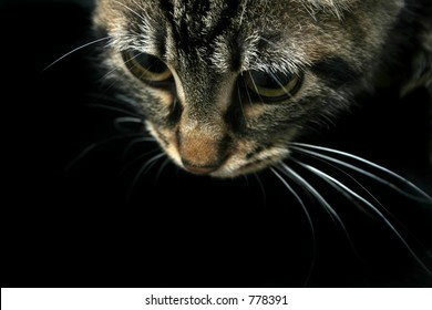 Kitten looking down, black background