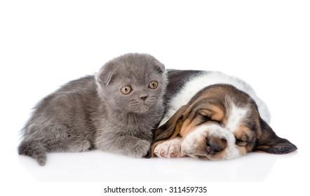 Kitten lying with sleeping basset hound puppy. isolated on white background