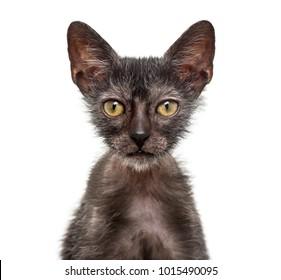 Kitten Lykoi cat, 3 months old, also called the Werewolf cat against white background