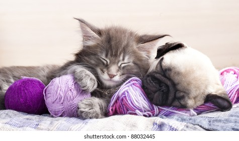 kitten Maine Coon and puppy  pug ,