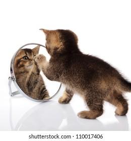 kitten with mirror on white background. kitten looks in a mirror.
