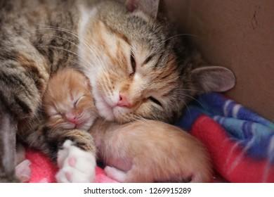 kitten mother newborn cuddle sleep cute cat tabby orange mom snuggle feline