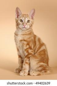 Kitten on a beige background