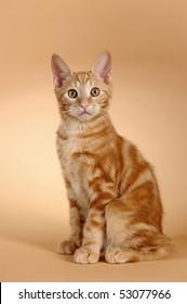 kitten on a beige background (breed - kurilian bobteil)