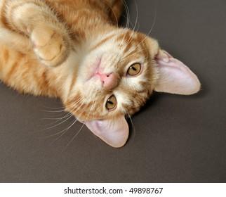 kitten on a gray background (breed - kurilian bobteil)