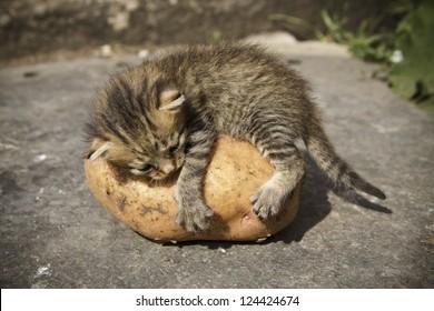 Kitten on potatoes