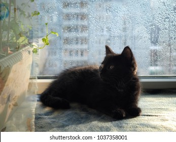 Kitten on the windowsill of the window. Rain drops on glass. The rays of the spring sun. Kitten looks at the young green shoots of houseplant