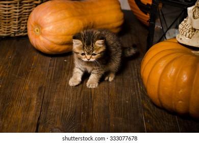 kitten on wooden floor with pumpkins for Halloween