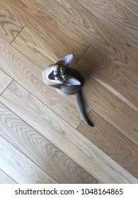 Kitten on wooden floor yawning