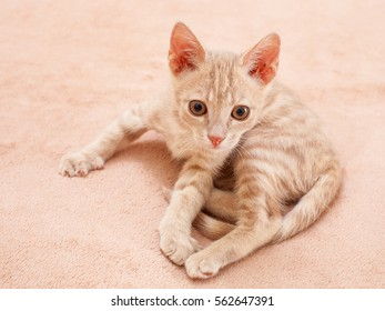 The kitten is played, the peach striped cat is played on a bed, nobody.