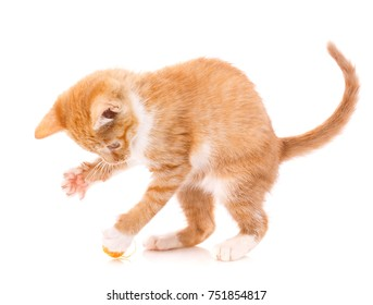 Kitten playing with toy isolated - Red cat