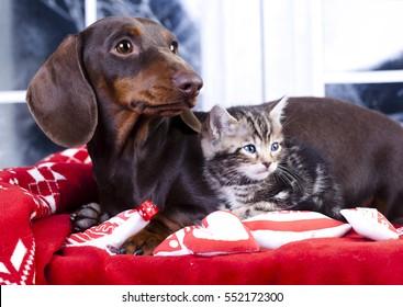 kitten  and puppy dachshund