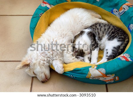Kitten and puppy sleeping and cuddling