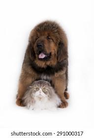 Kitten and puppy. Tibetan Mastiff and highland fold