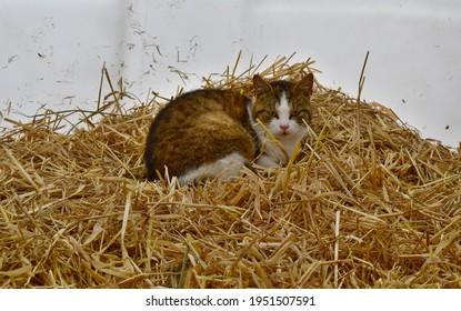 kitten resting on straw in a calf hut, South Bohemia, Czech Republic