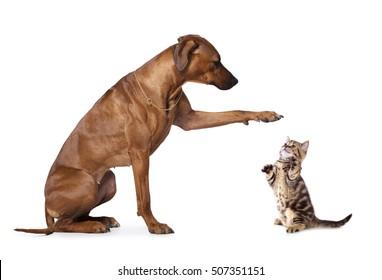 kitten and  rhodesian ridgeback