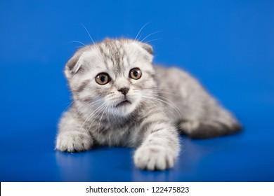 Kitten scottish fold breed on blue