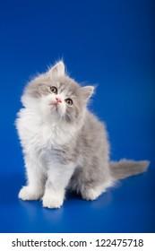 Kitten scottish straight breed on blue