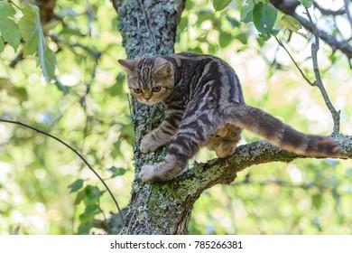 Kitten of a scottish straight cat