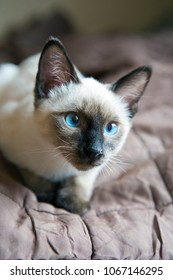the kitten (Siamese type ,Mekong bobtail) lies on a cover