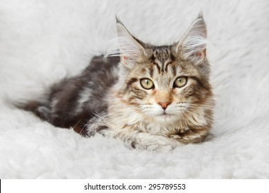 Kitten silver black color maine coon posing on white fur - Shutterstock ID 295789553