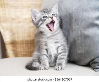 Kitten sings. The kitten screams. The kitten laughs.