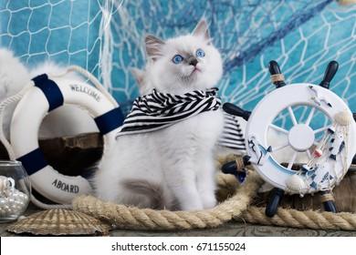 Kitten Sits next to the sea decor, breed regdoll