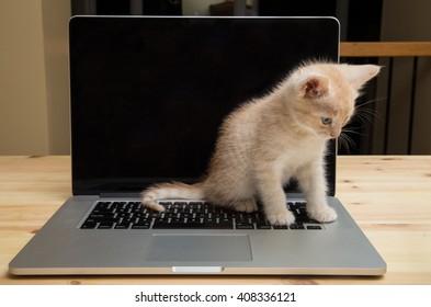 Kitten sitting on a laptop