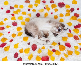 Kitten sleeping in autumn leaves. Cat with yellow and red leaves on white blanket