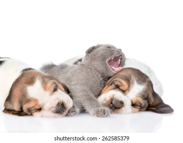 Kitten sleeping with basset hound puppies. Focus on cat. isolated on white background