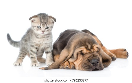 Kitten with sleeping bloodhound puppy. isolated on white background