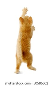 A kitten is standing on back of its legs reaching for something. Taken on a white background.