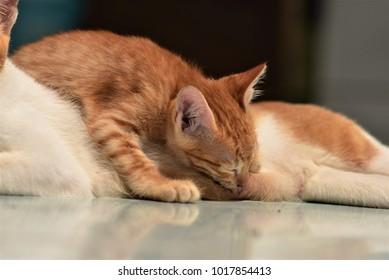 A kitten sucking milk from its mother.
